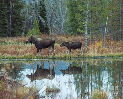 Mother And Baby Moose Reflection Poster
