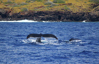 Mother And Calf Whaletails Poster
