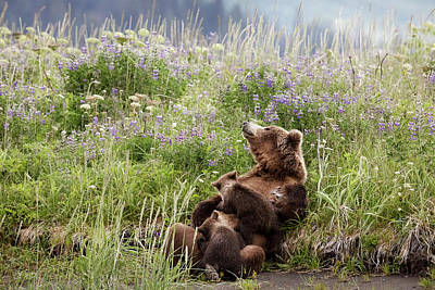 Mother Bear Nursing In All The Beauty Of Alaska Poster by Linda D Lester