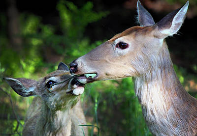 Mother Deer With Fawn Poster