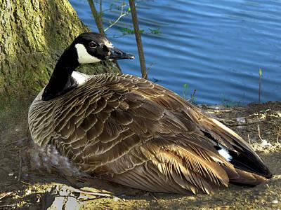 Mother Goose On Nest Poster by Craig Bohnert