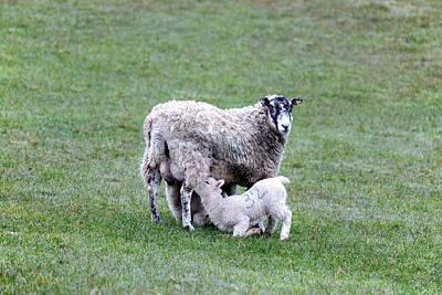 Mother Sheep And Lamb Poster by Joana Kruse