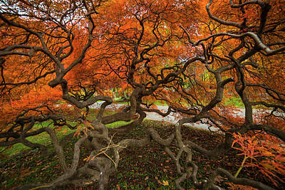 Mount Auburn Cemetery Beautiful Japanese Maple Tree Orange Autumn Colors Branches Poster by Toby McGuire