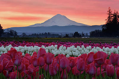 Mount Hood Sunrise With Tulips Poster by Mark Whitt
