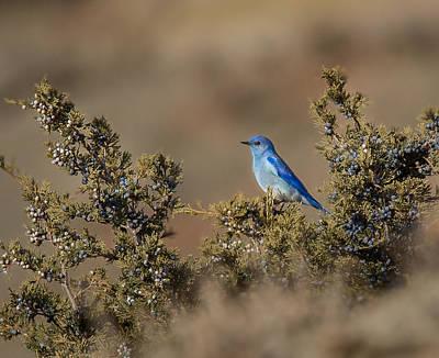 Mountain Bluebird // North Dakota Poster