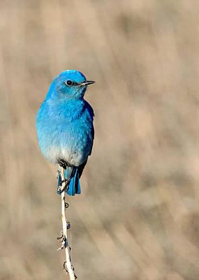 Mountain Bluebird On A Stem. Poster