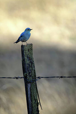 Poster featuring the photograph Mountain Bluebird On Wood Fence Post by Mary Lee Dereske