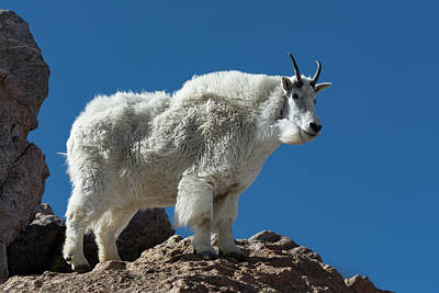 Poster featuring the photograph Mountain Goat 2 by Gary Lengyel