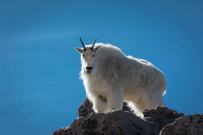 Poster featuring the photograph Mountain Goat 3 by Gary Lengyel