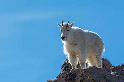 Poster featuring the photograph Mountain Goat 4 by Gary Lengyel