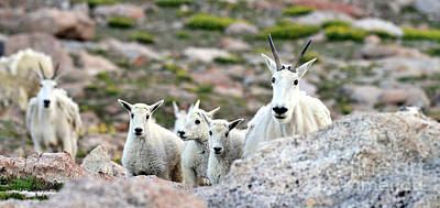 Poster featuring the photograph Mountain Goat Family Panorama by Scott Mahon
