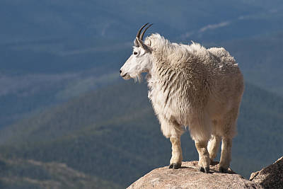 Poster featuring the photograph Mountain Goat by Gary Lengyel
