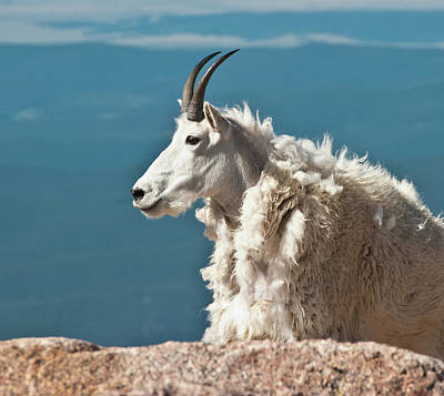 Mountain Goat King Of Mount Evans Poster by Harry Strharsky