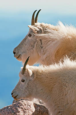 Poster featuring the photograph Mountain Goats by Gary Lengyel