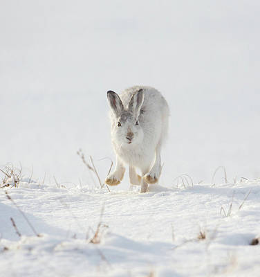 Mountain Hare Approaching Poster