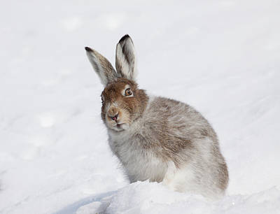 Mountain Hare In Winter Poster