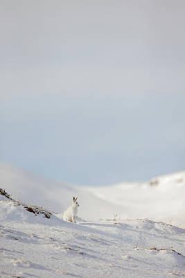 Mountain Hare On Hillside Poster