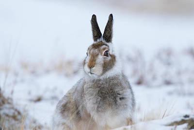 Mountain Hare - Scotland Poster