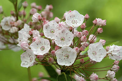 Mountain Laurel Poster