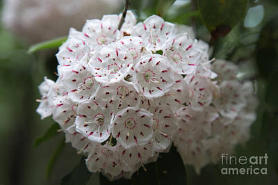Mountain Laurels Poster by Andy Miller