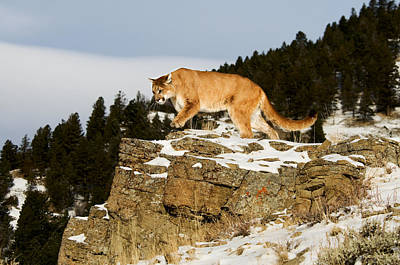 Mountain Lion On Rocks Poster