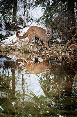 Mountain Lion Reflection Poster