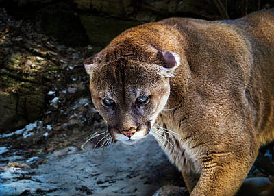 Mountain Lion Stare Down Poster