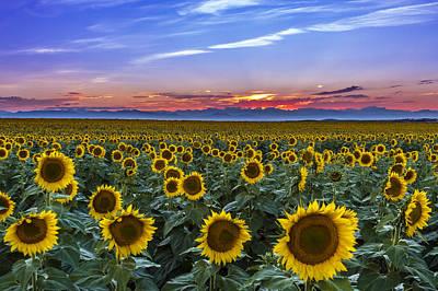 Mountain Sunset Over Sunflower Fields Poster