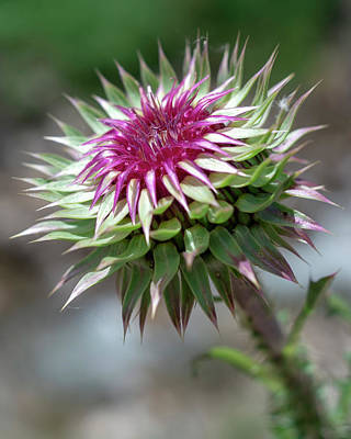Mountain Thistle Poster