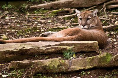 Mouontain Lion Resting Poster by Douglas Barnett