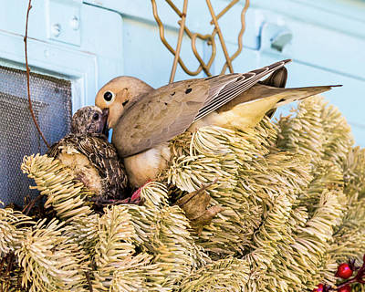 Mourning Dove And Chick Poster by Steven Ralser