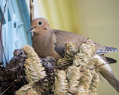 Mourning Dove And Chicks 2 Poster by Steven Ralser