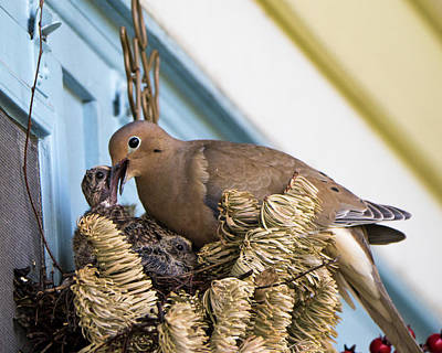 Mourning Dove And Chicks 3 Poster by Steven Ralser