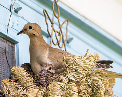 Mourning Dove And Chicks 4 Poster