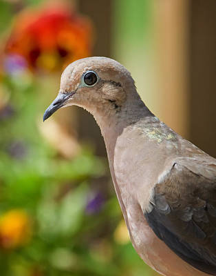 Mourning Dove And Flowers Poster