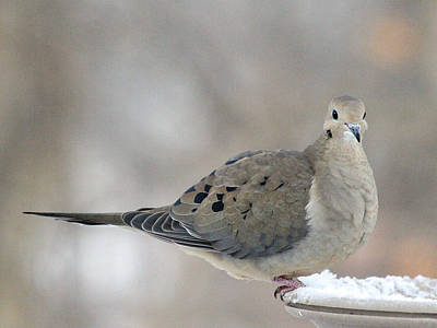 Mourning Dove Looks Me In The Eye Poster by Laurie With