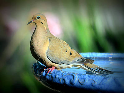 Mourning Dove Perched Poster by Josephine Buschman