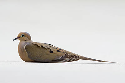 Mourning Dove Poster by Shelly OBrien