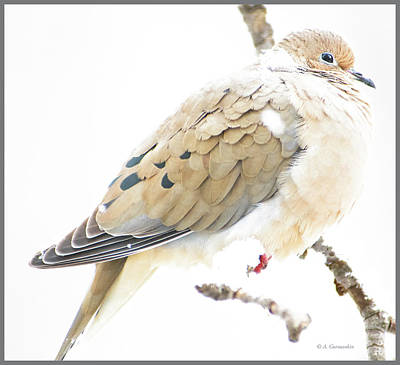Mourning Dove, Snowy Morning Poster