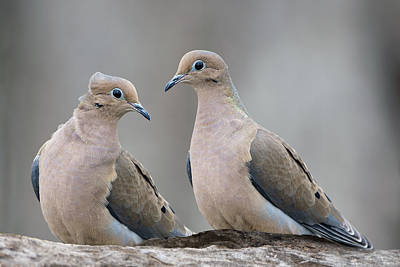 Mourning Doves Poster by Bonnie Barry