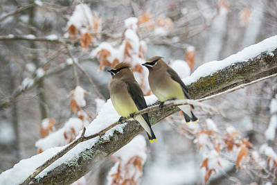 Mr. And Mrs. Cedar Wax Wing Poster