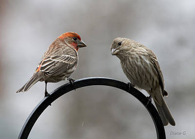 Mr. And Mrs. House Finch Poster by Diane Giurco