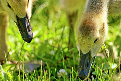 Juvenile Geese Poster by Geraldine Scull