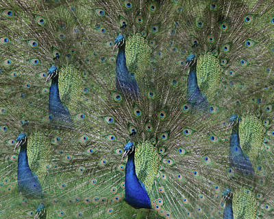 Mr Peacock Poster by Cheryl Cencich