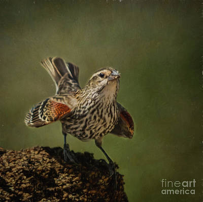 Mrs. Red Winged Blackbird Poster by Janice Rae Pariza