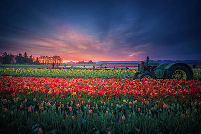 Mt. Hood And Tulip Field At Dawn Poster
