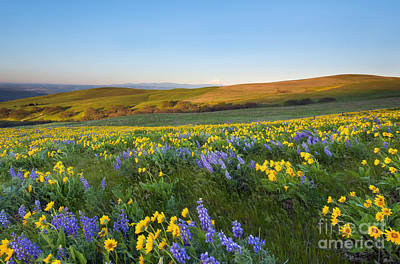 Mt. Hood Wildflower Morning Poster