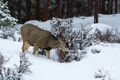 Mule Deer - 9130 Poster