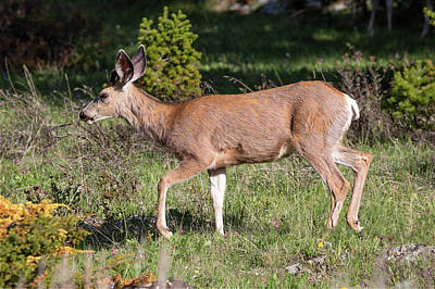 Mule Deer Doe Poster by Todd Klassy