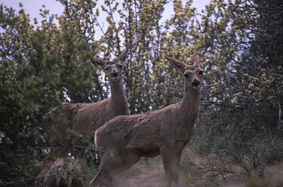 Mule Deer - Old State Rd. Poster by Soli Deo Gloria Wilderness And Wildlife Photography